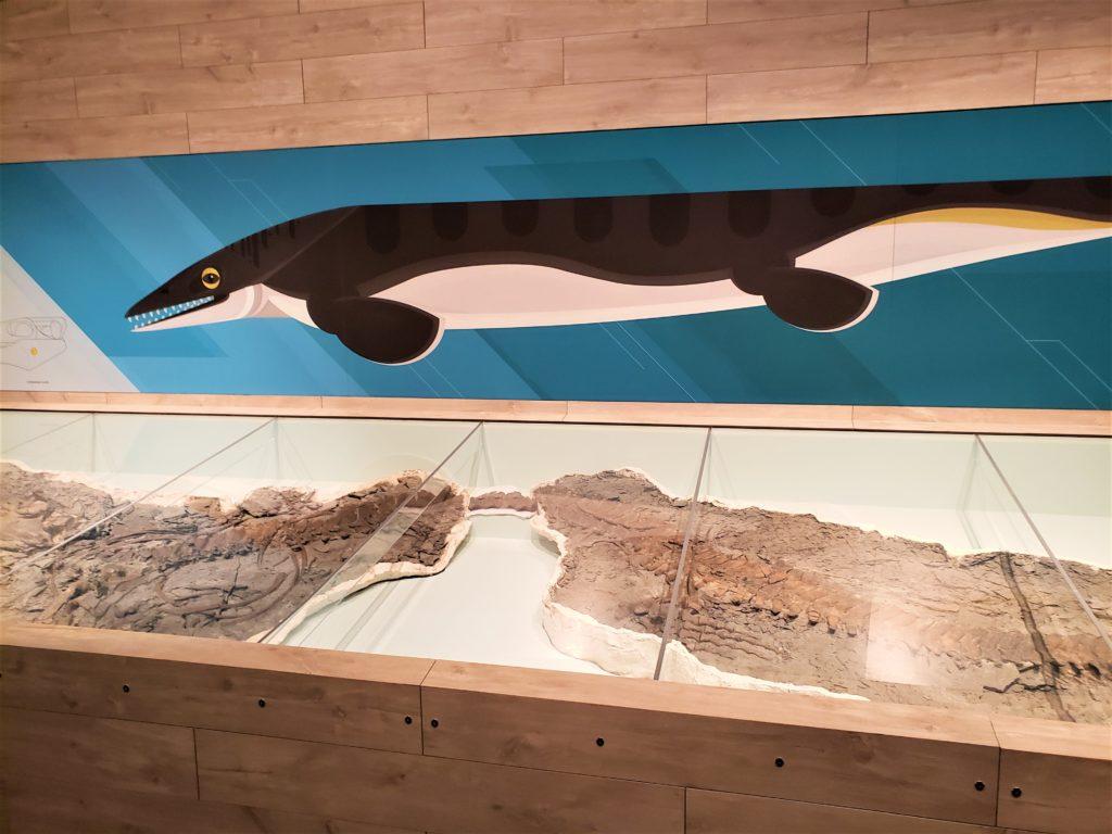 Shonisaurus sikanniensis un reptil marino en el museo Tyrrell