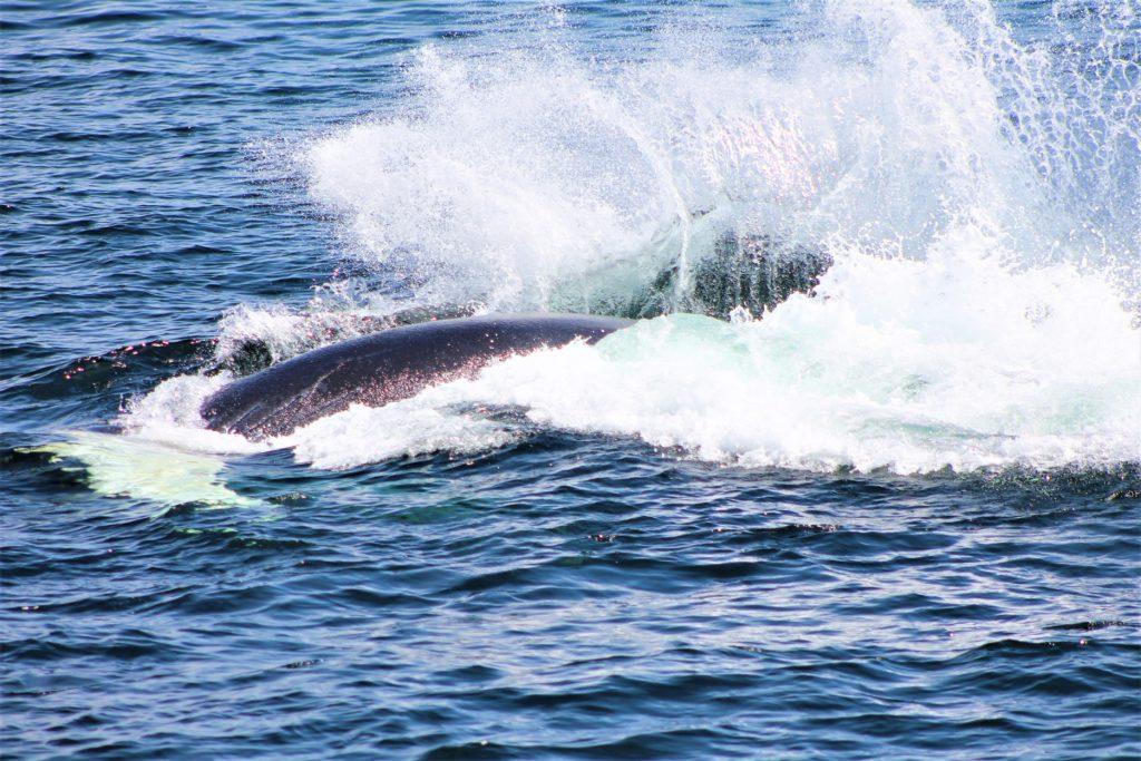 Cría de ballena jugando por las aguas