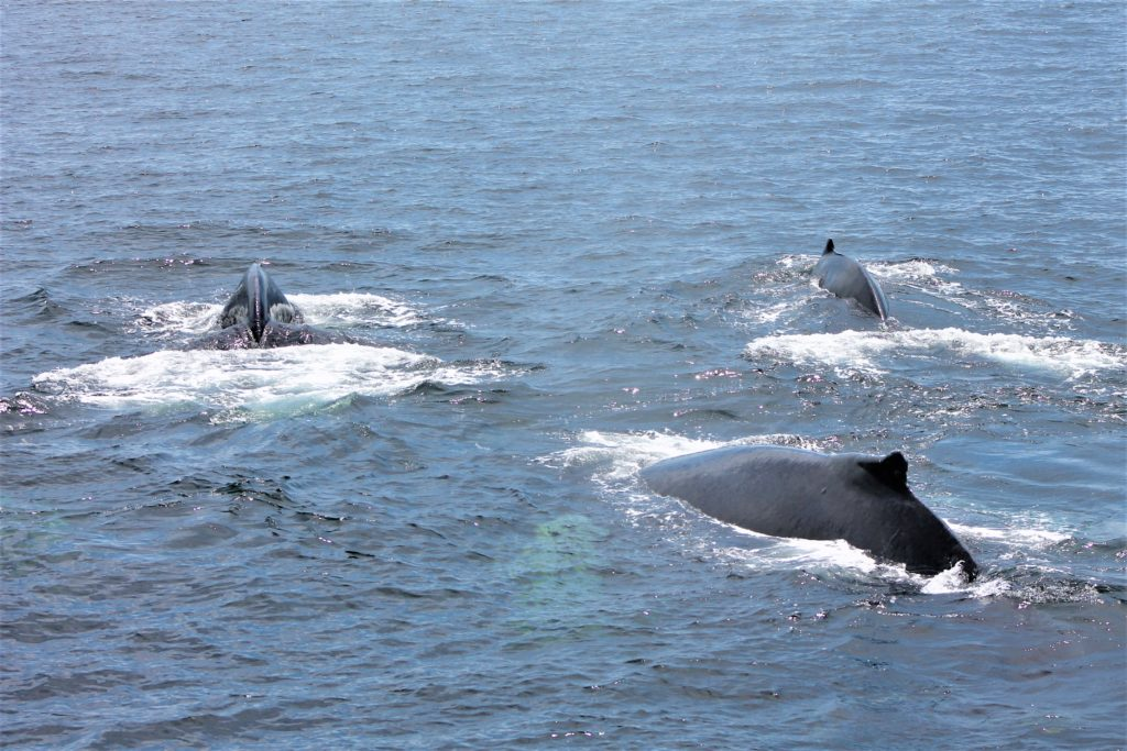 Parte de la manda de ballenas que vimos fueron siete en total y una cría.